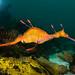 Weedy seadragon - Phyllopteryx taeniolatus #marineexplorer