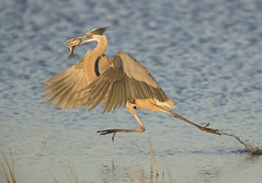 Heron in a hurry  {Explored!  Thank you so much!} (Mawrter) Tags: greatblueheron hurry run running fish prey catch action motion fast speed water earlymorning morning morninglight canon bombayhook bombayhooknwr gbhe heron hurrying wings wing bird avian birding nature wild wildlife specanimal explore explored interest interesting view views specanimalphotooftheday