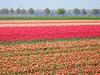 Tulip fields (EvelienNL) Tags: tulip tulips flower flowers field flowerfield flowerbed bulbfield bloemen tulpen bollenveld bollenvelden tulpenveld tulpenvelden bloemenveld bloemenvelden colourful dutch holland netherlands flevoland flevopolder orange oranje rood rode