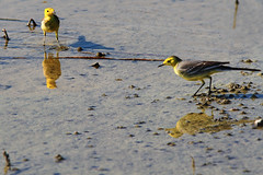 Yellow Wagtail   黃鶺鴒 (Alice 2018) Tags: couple nature hongkong 2017 canonef300mmf4lisusm canoneos7d eos7d canon 300mm wetland water winter bird shadow fantasticnature favorites50 mirror reflection saariysqualitypictures aatvl01 allnaturesparadise