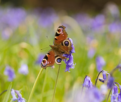 Butterfly & Bluebells (SarahW66) Tags: red butterfly bluebells britishnature nature macro spring nymans peacockbutterfly aglaisio