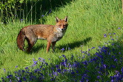 Fox & Bluebells (Terry Angus) Tags: fox redfox bluebells norden rochdale uk