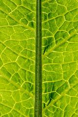 Green (Boba Fett3) Tags: green foliage greenery vegetation gorgeousgreenthursday hggt backlit backlighting leaf