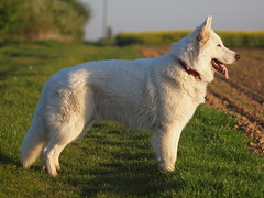 Filou (reuas ogni) Tags: hund dog perro berger blanc suisse weisser schäferhund white sheperd sheep tierfotografie hundefotografie pets haustiere chien isoz
