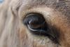 IMG_47001 (saracapa.95) Tags: asino somaro ciuchino donkey occhio eye ciglia pupilla riflesso nature natura bellezza animali animals maremma toscana tuscany italia italy