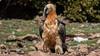 124.1 Lammergier-20170405-J1704-49475 (dirkvanmourik) Tags: corvisser gypaetusbarbatus ineziatoursgierenfotografiereisapril2017 lammergeier lammergier quebrantahuesos spanje vogelsvaneuropa bird