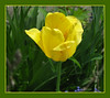 To all Mothers ~ Happy Mother's Day! (ellenc995) Tags: mothersday flower yellow thegalaxy fantasticnature alittlebeauty coth thesunshinegroup coth5 rubyphotographer supershot challengeclub sunrays5 hennysgardens abigfave 100commentgroup citrit ruby3 challengeclubchampion ruby10 ruby15