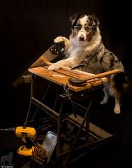 19/52 Working Construction (Jasper's Human) Tags: aussie australianshepherd 52weeksfordogs 52wfd construction worker