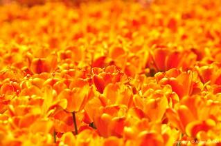 Orange Love Forever
