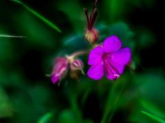Geranium macrorrhizu cv. (tuvidaloca) Tags: flower deeppink 7mmanillodistanciador closeup violett balkanstorchschnabel nature rosenrot rockcranesbill blüte bokeh bokehextreme macro geraniummacrorrhizum tiltshift verde grün groswurzeligerstorchschnabel desenfoqueparcial flor makro felsenstorchschnabel studie 7mmextensiontube green primerplano tiltshiftadapter blütenstand blossom pink study bigrootgeranium heyday estudio inflorescencia rosado violado dof infloreszenz rosa nahaufnahme natur naturaleza apogeo bulgariangeranium violeta desenfoque 7mmdistanzring inflorescence vistadecerca ts blütezeit violet floración