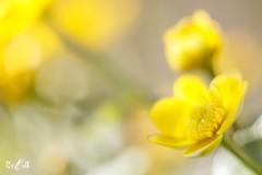 Yellow happiness (Renate van den Boom) Tags: 04april 2017 bloemenenplanten dotterbloem europa gelderland jaar maand nederland oosterhout renatevandenboom thuis tuin