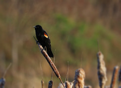 Red-winged Blackbird (Ali Parandeh) Tags: bird blackbird redwing redwinged canada ontarionature 80d canon 55250mm stm