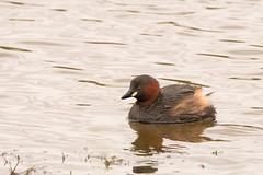 Little Grebe (Tachybaptus ruficollis) (Baldyal) Tags: little grebe bird wildlife shropshire venus pool ngc