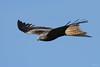 Red kite (Shane Jones) Tags: redkite kite bird raptor birdinflight birdofprey wildlife nature nikon d500 200400vr tc14eii