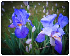 Day 114 - irises (DenisePhoto1) Tags: colour flower irises iris april365 april project365 photoadayproject photoaday365 photoadaychallenge photoaday photo 365project 365photoadayproject 365photoadaychallenge 365photoproject 365photoaday 365photo day114 365 114365