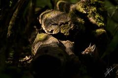 renardeaux (maxime jusnel) Tags: renard renardeaux forêt lorraine canon 7dii 7dmarkii 7dmkii 2017 400 400mm 28 f28 nature animalier campagne