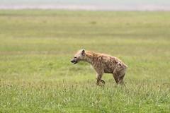 Gevlekte hyena - Spotted hyena (marcdeceuninck) Tags: ngorongoro tanzania safari nature natuurfotografie zoogdieren mammal gevlektehyena spotted hyena