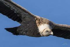 Vautour fauve (mhyrdin) Tags: birds oiseaux rapaces birdsofprey jaizkibel