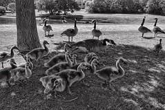 At the gosling gang hideout (Pejasar) Tags: geese goslings blackenedwhite bw gang