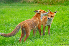 But I Already Cleaned Behind My Ears!!! (law_keven) Tags: fox foxes animals wildlife surrey lingfield britishwildlifecentre redfox urbanfox wildlifecentre mammals family