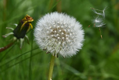 Dandelion clock (IN EXPLORE ) (Yvonne Alderson) Tags: dandelion clock seeds silver summer meadow wild weed flower float wind blow yvonne alderson