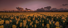 Yellow Tulips (mcalma68) Tags: tulips dutchlandscape beemster yellow netherlands spring landscape depth sunset