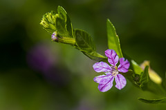 To Greet The Day (J Swanstrom (Never enough time...)) Tags: flower macro dof bokeh blur closeup green pink purple leaves leaf petal detail vibrant vivid jswanstromphotography nikon d750 colors fresh growth spring