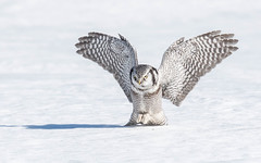 Northern Hawk Owl (tickspics ) Tags: europe finland hawkowl kuusamo northernhawkowl strigidae suomi surniaulula taivalkoski typicalowls northernostrobothnia