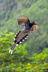 台灣藍鵲 - Taiwan Blue Magpie - Qing Tong Lin ECO-Park - Wufeng - Taichung (prince470701) Tags: 台灣藍鵲 taiwanbluemagpie sonya99 sigma70300mm 青桐林生態產業園區 qingtonglinecopark taichungcity taiwan