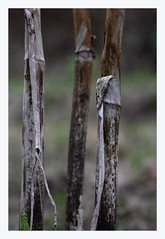 Serie:Angelica (R. Drozda) Tags: fairbanks alaska home garden spring angelicalucida stalk dry umbelliferae botanical drozda