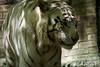 20170420 - BEAUVAL Tigre blanc  - Sony - 5895 (laurent lhermet) Tags: sel55210 sonya6000 sonyilce6000 tigreblanc