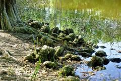 Dans le marais II (Μonia) Tags: couleur nature paysagenaturel racine arbre eau marais em1 zuiko1240mm
