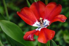 Vergänglichkeit (J.Weyerhäuser) Tags: stadtpark hechtsheim rhododendron stadt tulpen mainz rot verblüht grün