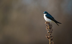 Tree Swallow (rmikulec) Tags: tree swallow bird birds animal animals spring migration home sunset bokeh portrati nature natural photography hike ontario canada