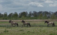 Konik horses (madphotographers) Tags: konik konikpaarden oostvaardersplassen nature wild wilderness horses horse