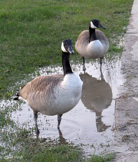 Canada Geese & puddle reflection.