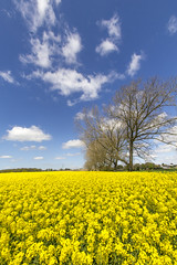 April in Warwickshire (JW.Andrews) Tags: april spring farming warwickshire kenilworth rapeseed argiculture yellow flower flowers plants