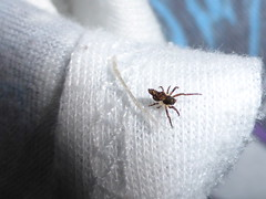 Lumpy Bumpy (tessab101) Tags: arachnid spider spiders arthropods brown crumpled humped blue mountains nsw australia autumn arkyiidae arkys
