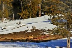 Fox With Kill (Susan Roehl - 6M Views - Thanks Everyone) Tags: yellowstoneinwinter2017 yellowstonenationalpark wyoming usa redfox animal mammal carnivore outdoors elkcarcass sueroehl photographictours naturalexposures lumixdmcgh4 100400mmlens handheld takenfromroad
