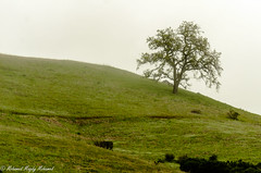 Lonely Tree (MohamedMM) Tags: hike montebello palo alto california nature mountains green