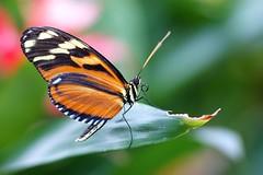 DSC05093 (Fotofreaky2013 (BUSY)) Tags: orchideeënhoeve luttelgeest butterfly vlinder vlindertuin