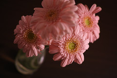 Gerbera(ガーベラ) (kurupa_m) Tags: gerbera flower plant sigma dp2merrill pink macro ガーベラ シグマ ピンク