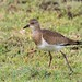Black-winged Lapwing (Vanellus melanopterus minor), immature
