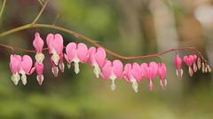 Bleeding heart (Elisabeth, Kelev, Tama, Mazal) Tags: bleedingheart gebrokenhartjes lamprocapnosspectabilis bloem garden tuin flower