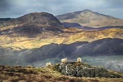 Sheep in their element (OutdoorMonkey) Tags: snowdonia nationalpark landscape countryside outside outdoor rural nature scenery scenic sheep animal wild wilderness remote mountain hill hillside moor moorland wales glasgwm aran arans
