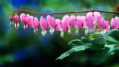 Herzen in Pink (Renate Bomm) Tags: lamprocapnosspectabilis tränendesherz 7dwf blume flora green herz pink project365 tränendes zaun 2017 365 canoneos6d bloom flower muttertag mothersday díadelamadre