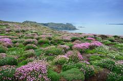 Skomer (Shane Jones) Tags: skomer pembrokeshire flowers island sea landscape wales nikon d7000 18200vr