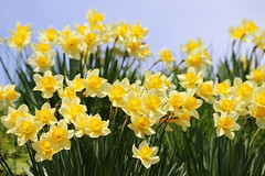 Narcissus (Teruhide Tomori) Tags: narcissus spring nature japan japon toyama gokayama flower yellow 水仙 富山 五箇山 春 日本 花 ラッパズイセン