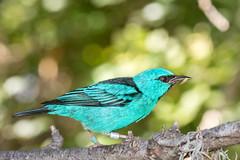 Blue Dacnis or Turquoise Honeycreeper (Dacnis cayana) - Hummingbird House (2013) - San Diego Zoo (Jim Frazee) Tags: bluedacnis turquoisehoneycreeper dacniscayana hummingbirdhouse sandiegozoo