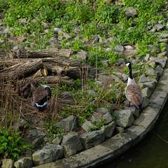 Canada geese at the nest (Dave_A_2007) Tags: bird goose nature wildlife stratforduponavon warwickshire england